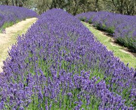 Yuulong Lavender Estate - Kingaroy Accommodation
